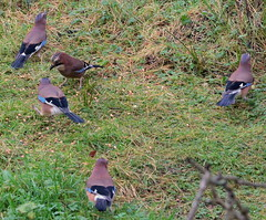 Canon EOS 60D.Canon 70-300mm Lens.Five Jay's In My Gloomy And Damp Back Garden.January 17th 2014. (Blue Melanistic.Twelve Million Views.) Tags: ireland winter cold nature fauna wildlife january overcast jays kitchenwindow breezy drizzle ulster predators tyrone 2014 mybackgarden wildbirds doubleglazing colourfulbirds crowfamily canon70300mmlens canoneos60d bluemelanistic