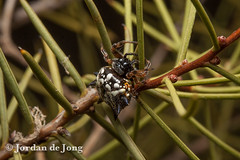 Australian Jewel Spider, Austracantha minax.jpg (Jordan de Jong) Tags: nature animal fauna spider flickr wildlife arachnid australia jordan invertebrate dejong minibeast araneidae jewelspider austracanthaminax austracantha