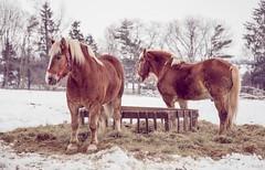 Maude & Ben (Jen MacNeill) Tags: winter horses horse snow animals pennsylvania farm pair pa lancaster belgian lancastercounty draft workhorse landisvalleymuseum jennifermacneilltraylor jennifermacneill jennifermacneillphotography