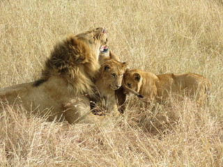 Lion and his cubs