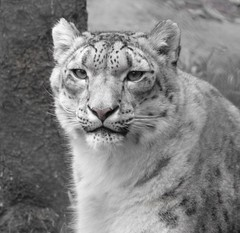 To The Lovely Beast In All Of Us (zenseas) Tags: seattle pink love beauty lady washington gorgeous mother helen leopard lovely snowleopard woodlandparkzoo pinknose unciauncia panthera wpz pantherauncia {vision}:{outdoor}=0916 {vision}:{mountain}=0616 thebeastinallofus