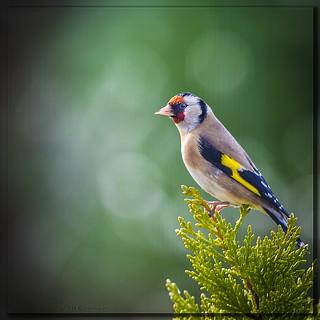 Goldfinch bokeh