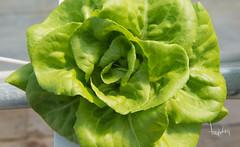 Baywater Greens (Tony Weeg Photography) Tags: green photography farm farming indoor tony clean micro greens hydroponic baywater weeg tonyweegphotographycom tonyweegcom