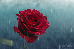 Gentle Rain (Jenny Onsager) Tags: flowers blue red rain canon petals redrose waterdroplets gentlerain mygearandme mygearandmepremium mygearandmebronze mygearandmesilver mygearandmegold mygearandmeplatinum jennyonsager redrosewithwaterdroplets
