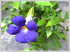 Thunbergia erecta (King's Mantle) with striking deep purple flowers and yellow throat (jayjayc) Tags: flowers plant green purple malaysia kuala shrub lumpur tropicalgarden jayjayc thunbergiaerectakingsmantlebushclockvine