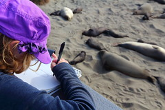 IMG_1351 Elephant Seal Drawing at Piedras Blancas (ThorsHammer94539) Tags: elephant seals blancas piedras