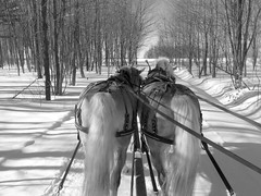 Sleigh ride (Amiela40) Tags: horses tree forest way soleil ride path promenade arbre sentier chemin forêt sleighride chevaux haflinger