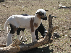 IMG_1501 (Tehhen) Tags: animals dominicanrepublic repblicadominicana clavellina dajabn