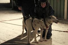Pupppppies (brrrandonmitchell) Tags: camp dog ice circle reindeer hotel sweden lappland arctic sledding alta kiruna snowmobiling jukkasjrviicehotel