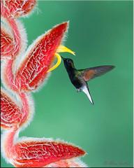 Black-bellied Hummingbird (A Antal) Tags: costarica ngc supershot specanimal avianexcellence slicesoftime blinkagain bestofblinkwinners