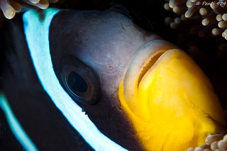 Clown des Mascareignes - clownfish - Amphiprion chrysogaster