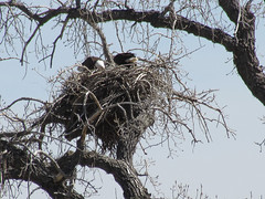 Bald Eagles Fixing Nest (nature80020) Tags: bird nature birds colorado nest wildlife baldeagle eagles broomfield