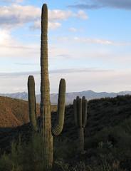 Saguaros v1.0 (zoniedude1) Tags: arizona cactus sky foothills mountains southwest nature beauty clouds landscape outdoors spring view desert adventure serenity vista recreation saguaro cactaceae sonorandesert saguaros saguarocactus tontobasin intothewild tontonationalforest carnegieagigantea desertscape gilacounty sierraancha zoniedude1 earthnaturelife canonpowershotg12 desertspring2014 dutchwomanbutteexpedition2014 saguarosv10