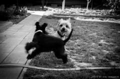 yīn yáng (Serge Dema) Tags: blackandwhite bw dog pet animal animalplanet bnw 阴阳 陰陽 yáng yīn