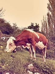 Cow (antexer) Tags: cow village pasture calf