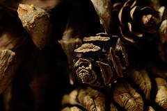 Dawn Redwood Cone (thebigtubadaddy) Tags: macro pinecone dawnredwood metasequoiaglyptostroboides