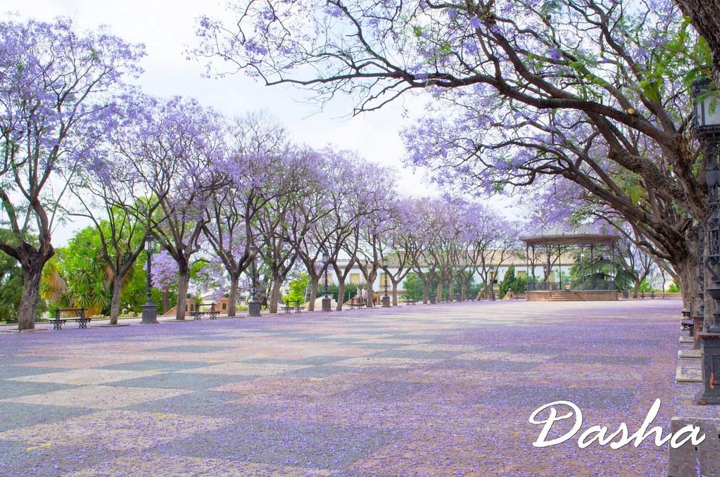 The World 39 S Best Photos Of Jacaranda And November Flickr