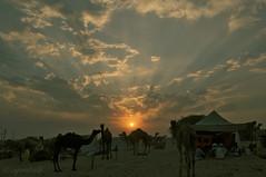 Camels in the Dusk (me suprakash) Tags: sunset india silhouette dusk pushkar rajasthan pushkarcamelfair pushkarmela pushkarcattlefair