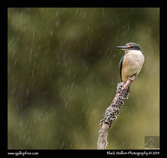 Sacred Kingfisher 13 (Black Stallion Photography) Tags: newzealand black green bird rain photography drops branch wildlife cream kingfisher sacred perch stallion nzbirds igallopfree