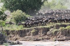 Wildebeest Ponder Crossing the Mara River