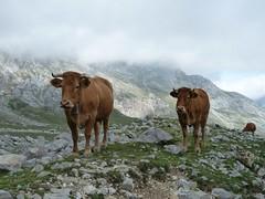Vacas en Picos de Europa | Cows at Picos de Europa National Park, north of Spain (Leticia Roncero) Tags: mountains cow nationalpark spain cattle cows asturias limestone cantabria vacas picosdeeuropa