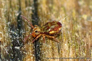 jan 26th Great Orme, Collembola. Dicyrtomina sp.