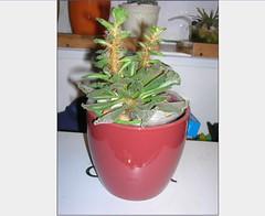 Cactus-Tillandsia-4 (cuirung) Tags: jade gollum haworthia airplant crassula felina faucaria perforata tigerjaw cactustillandsia bulbbolsa