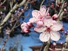 Plum blossoms (jenn2d2) Tags: flowers spring blossoms olympia washingtonstate plumblossoms