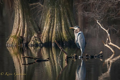 Great Blue Heron (Kevin James54) Tags: