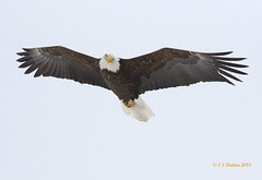 February 1, 2015 - The cold is no deterrent for this Bald Eagle along the South Platte. (Ed Dalton)
