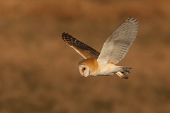 barn owl (colin 1957) Tags: birds ngc npc owls barnowl