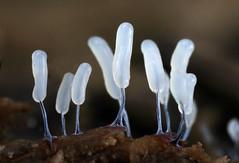 Slime Mold (Stemonitopsis typhina) (Ron Wolf) Tags: california macro nature slimemold wunderlich mpe65 sporangia mpe65mm stemonitidaceae stemonitopsistyphina