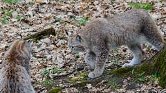 Luchse (Markus Wollny) Tags: nature bayern deutschland lynx wildpark luchs weitramsdorf