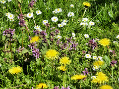 Blumenwiese (Gertrud K.) Tags: flowers white yellow purple wildflowers bellis taraxacum lamium