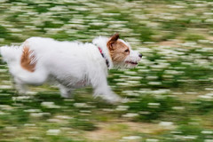 The Speed of Sound (moaan) Tags: dog japan ground running run kobe dash jp utata jackrussellterrier hyogo kinoko 2016 whiteclover panningshot ef70200mmf28lisiiusm canoneos7dmarkii