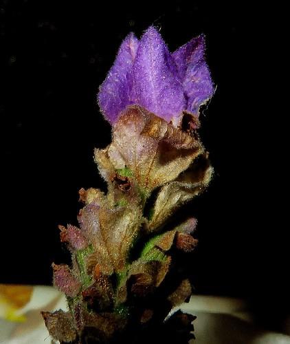 Flor de lavanda/Lavender flower (versión 2016).
