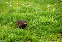A moi le trsor... (Crilion43) Tags: france nature canon divers allier parc merle vichy auvergne oiseaux herbe bleue msange rflex grive charbonnire