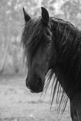 Lazar in the rain (feldweg) Tags: bw horse rain caballo cheval cavallo pferd regen stallion frisian hengst friese lazar hven guthven