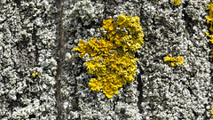 Yellow lichen on tree bark (piropiro3) Tags: tree closeup bark treebark lichen flechte baum rinde nahaufnahme baumrinde treelichen