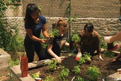 HarlemGrown-22 (United Nations International School) Tags: school students gardening farming volunteer unis composting harlemgrown