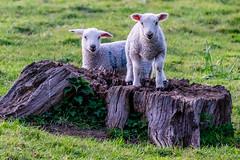 Climbing Lambs (Neal_T) Tags: uk tree nature field animals kids spring fuji sheep farming norfolk stump norwich lamb lambs fujifilm wayland xt1