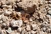 Solifuge - Camel spider (Mathias Dezetter) Tags: spider desert camel arachnide arthropode aride invertébré desertique
