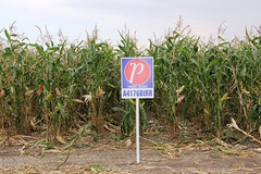 A4176BtRR (RealAgriculture.com) Tags: canada hail insect corn harvest alberta ag western damage agriculture borer cobs prideseeds