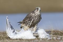 Flki - Gyrfalcon - Falco rusticolus (Baddi89) Tags: bird nature birds animal iceland outdoor wildlife hunting sland nttra gyrfalcon fuglar falcorusticolus flki baddi89