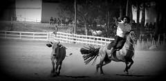 Xiru Azambuja (Eduardo Amorim) Tags: brazil horses horse southamerica brasil caballo cheval caballos lazo kuh cow rind cattle cows ox ganado cavalos oxen mucca pferde cavalli cavallo cavalo gauchos pferd riograndedosul pampa bois khe vache vaca vacas campanha brsil vaches boi chevaux gaucho buey  lasso amricadosul mucche lao fronteira boeuf vieh gacho amriquedusud  gachos  boeufs buoi sudamrica rinder gado suramrica amricadelsur bueyes sdamerika mue pinheiromachado  bestiami btail americadelsud americameridionale campeiros campeiro