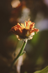 136 - Gone (DanielleDeviated) Tags: old orange flower color macro dead bokeh decay bouquet dried decaying warmtones 366project 3662016
