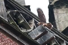 IMG_6781   Juvenile (gipukan (rob gipman)) Tags: holland tower netherlands eos fly toren nederland rover 7d falcon hunter juvenile amersfoort jong jager slechtvalk valk olv peregrinefalcon vliegen falcoperegrinus canon100400l langejan preybird kenkopro