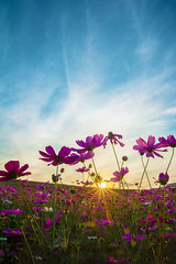 cosmos flower with sunset (tthegoatman) Tags: agriculture autumn beautiful bloom blossom blue botany bright color colorful cosmos countryside dawn decorative field flora floral flower fresh garden green landscape leaf light morning nature outdoor petal pink plant pollen purple rural scene season sky spectacular sun sunset view