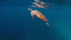 Sea Turtle (MaddieCGriffin) Tags: ocean turtle seaturtle natgeo highqualityanimals