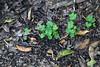 Treboles en la Ciudad (José Ramón de Lothlórien) Tags: naturaleza verde nature shamrock chapultepec trebol treboles mèxico ciudaddemèxico shamrockhunt